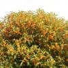 キンモクセイが咲いてる!!