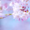 「楽しいお花見。花びらを集めて作った桜風呂が、エライことに!」