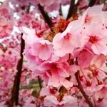 2016年  桜が満開♪ フィットハイブリッド実燃費♪