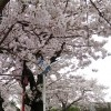 1週間で桜は満開♪  フィット ハイブリッド 燃費♪